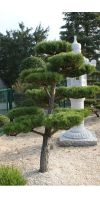 Japanischer Gartenbonsai - Pinus thunbergii