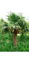 Trachycarpus fortunei - Chinese Windmill Palm