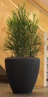 Euphorbia tirucalli - Bleistiftstrauch im exklusiven Pflanzgefäß
