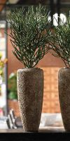 Euphorbia tirucalli - pencil tree in a Planter