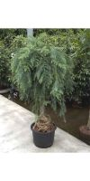 Araucaria cunninghamii - Neuguinea-Araukarie, Zimmerpflanze