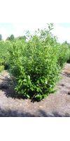 Prunus laurocerasus Novita - Kirschlorbeer, Solitärpflanze