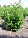 Prunus laurocerasus novita - Kirschlorbeer, Solitärpflanze XXL