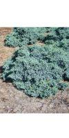 Juniperus squamata Blue Carpet -