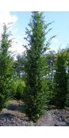 Carpinus betulus Frans Fontaine - Säulen-Hainbuche