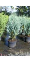 Juniperis scopulorum Moonglow - Blauer Wacholder