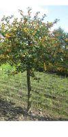 Ilex aquifolium J.C.van Tol - Gemeine Stechpalme