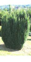 Taxus baccata - Gemeine Eibe, Europäische Eibe, Heckenpflanze