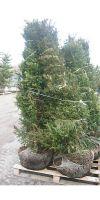 Taxus baccata -  European Yew