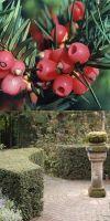 Taxus baccata - Gemeine Eibe, Europäische Eibe, Solitärpflanze