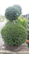 Taxus baccata -  European Yew double ball