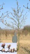 Magnolia soulangiana - Magnolie