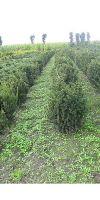 Taxus cuspidata -  Japanese Yew, hedge plant