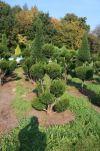 Gartenbonsai - Taxus baccata - Gemeine Eibe, Europäische Eibe