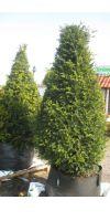 Taxus baccata -  European Yew Cone