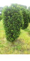 Taxus baccata Erecta Gracilis -  European Yew