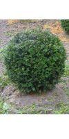 Taxus baccata  -  European Yew Ball