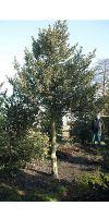 Ilex aquifolium Aurea Marginata - tall, rarity