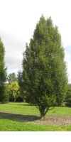 Carpinus betulus Fastigiata - Säulen-Hainbuche XXL, extra groß