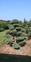 Chamaecyparis pisifera Boulevard - Garden Bonsai