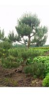 Pinus sylvestris Norske Pre Bonsai
