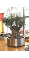 Olea europea  - Olivenbaum im Edelstahlpflanzgefäß