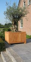 Olea europea - Olive tree in a hardwood planter