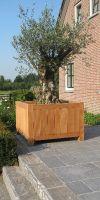 Olea europea  - Olivenbaum im Hartholz Pflanzgefäß