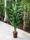 Dracena cintho dragon tree branches, indoor plant