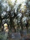 Quercus ilex - Holm Oak