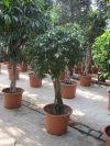 Ficus Benjamina Columnar - Zimmerpflanze Ficus