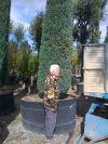 Cupressus semp. Pyramidalis - Mediterranean Cypress XXL GIGANT