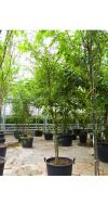 Acacia choriophylla - Akazie