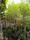 Acacia choriophylla