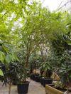 Acacia farnesiana - Süße Akazie, Amerikanische Akazie
