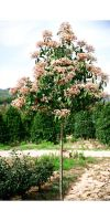Photinia serrulata Red Robin - Glanzmispel