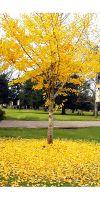 Ginkgo biloba - Ginko Baum, Fächerblattbaum
