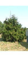 Picea abies Acrocona - Zapfenfichte