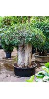 Ficus panda Stammwuchs extra