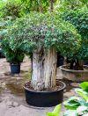 Ficus panda stem extra