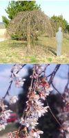 Prunus subhirtella Pendula - Schnee Kirsche