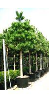 Pinus nigra Austriaca - Pine Austrian