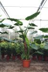 Alocasia macrorrhiza - Elefantenohr Alokasie