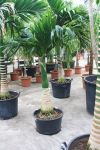Areca catechu - Betelnusspalme, Stamm extra