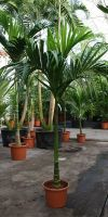 Areca catechu - betel palm