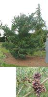 Pinus parviflora Glauca - Blaue Mädchenkiefer