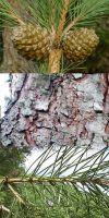Pinus pinea - Echte Pinie, Mediterrane Pinie /Kiefer