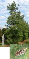 Pinus schwerinii - Schwerin Kiefer