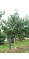 Pinus sylvestris Glauca - Blue Pine
