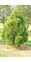 Pinus sylvestris Globosa Viridis - Kiefer